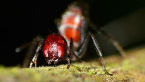 Formica esplode per difendere la sua comunità