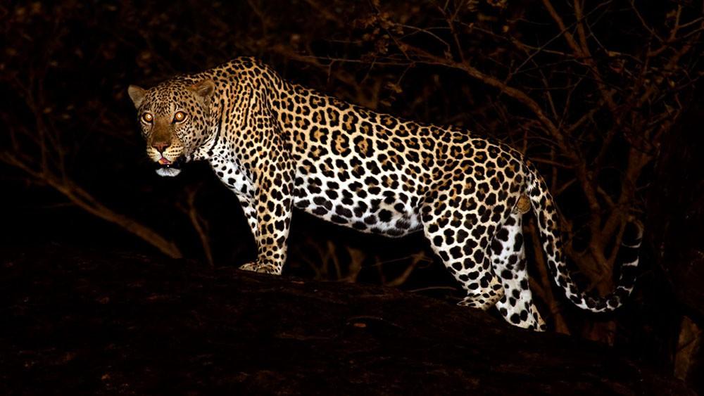 Lopardo uccide bimbo di 4 anni