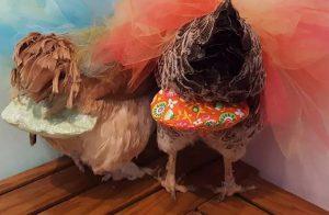 Pannolini per galline, come si usano