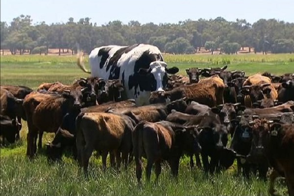Australia, chi è Knickers la mucca gigante