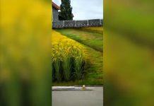 Sembra un magnifico campo di grano, ma è solo un'illusione ottica?