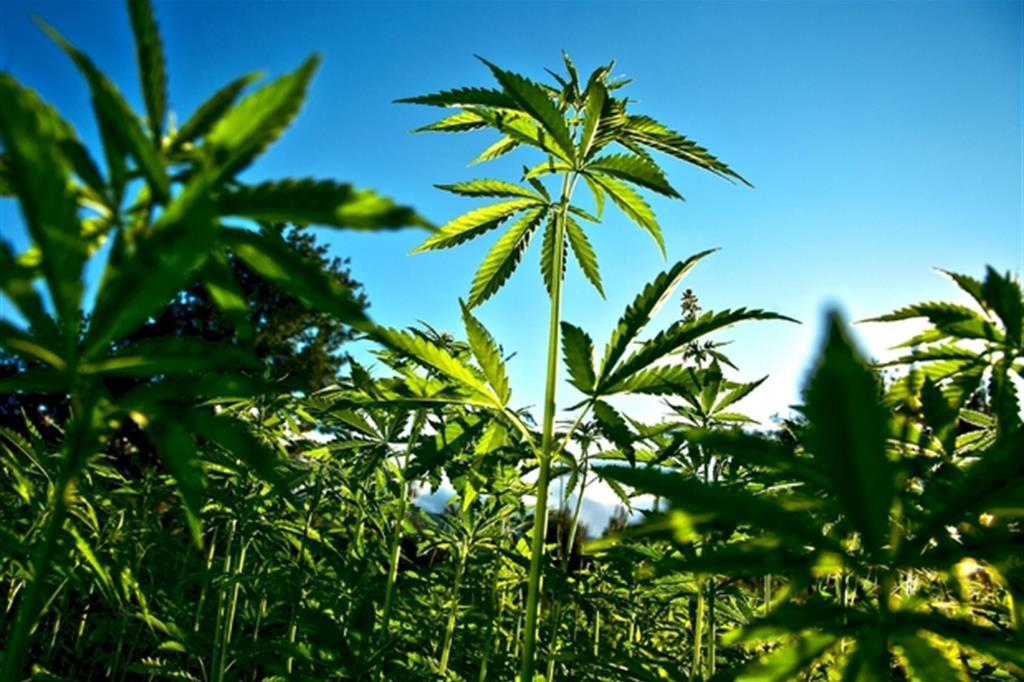 effetti cannabis legale