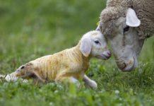 pasqua-agnello-origini-tradizione-critiche